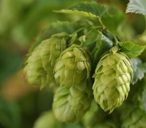 Les cônes de houblon confèrent notamment à la bière son agréable amertume.