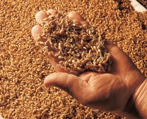 Le malt: les céréales peu après leur germination.